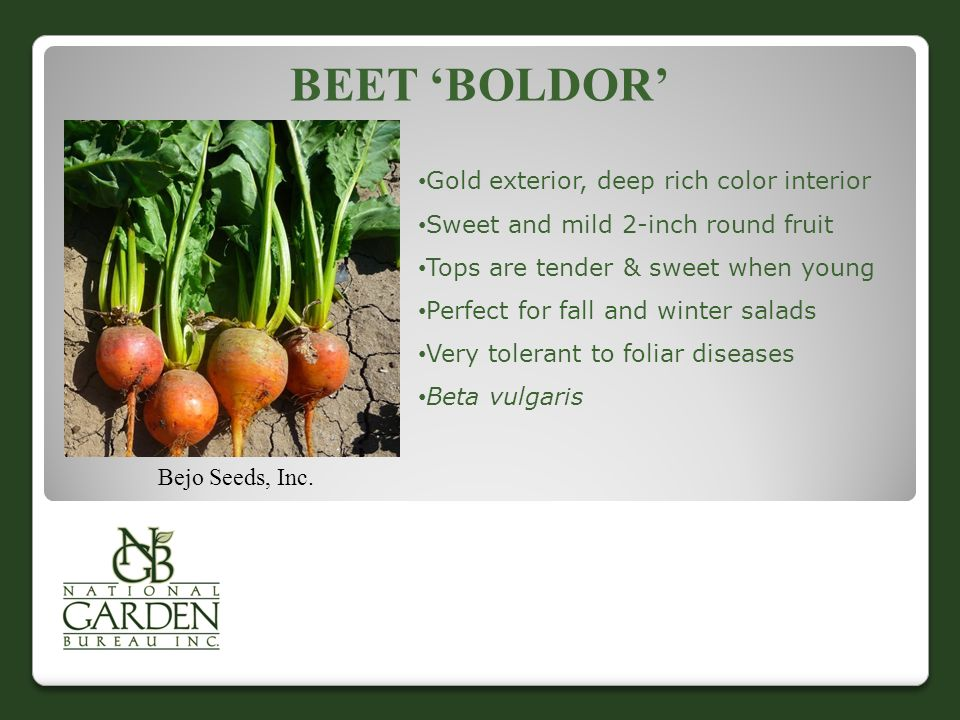 Beet 'Boldor' Gold exterior, deep rich color interior