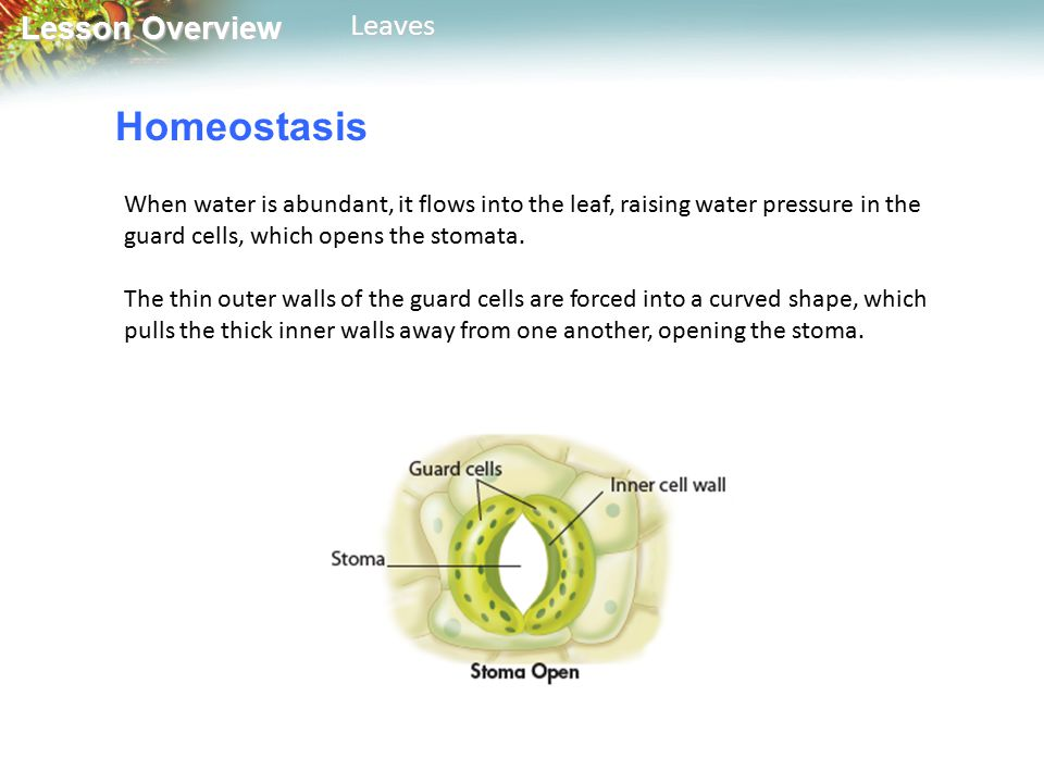 Homeostasis When water is abundant, it flows into the leaf, raising water pressure in the guard cells, which opens the stomata.