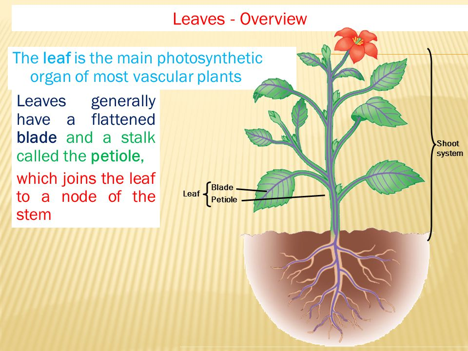 Leaves - Overview Shoot. system. Leaf. Blade. Petiole. The leaf is the main photosynthetic organ of most vascular plants.