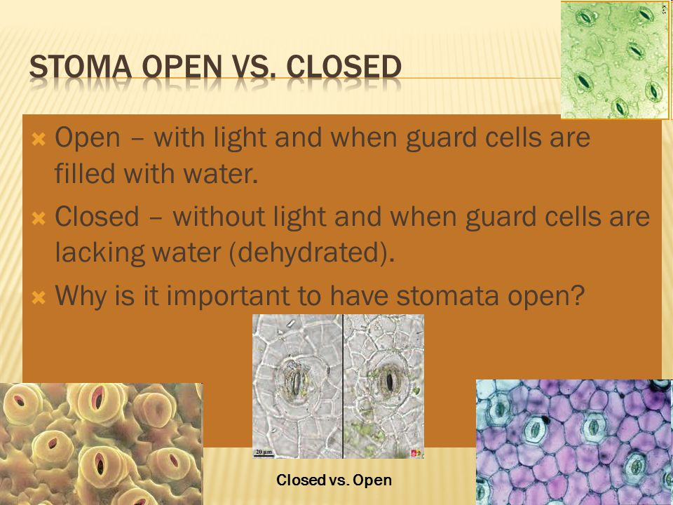 Stoma Open vs. Closed Open – with light and when guard cells are filled with water.