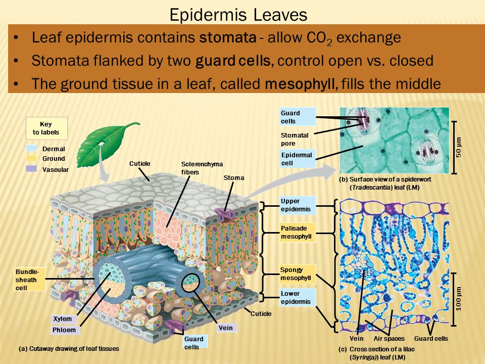 Epidermis Leaves Leaf epidermis contains stomata - allow CO2 exchange