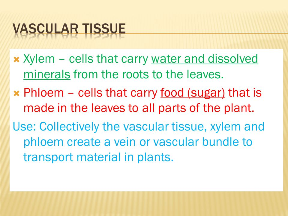 Vascular Tissue Xylem – cells that carry water and dissolved minerals from the roots to the leaves.
