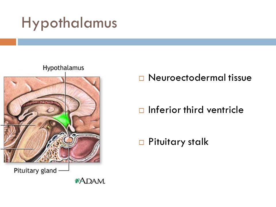 Hypothalamus Neuroectodermal tissue Inferior third ventricle