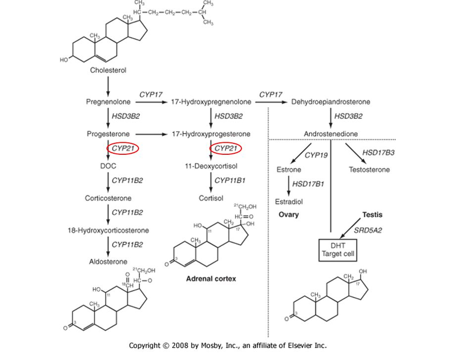 Deficiency in 21-hydroxylase activity (CYP21) prevents the conversion of 17-hydroxyprogesterone to 11-deoxycortisol, resulting in an elevation of 17-hydroxyprogesterone and shunting of precursors into the pathway for androgen biosynthesis