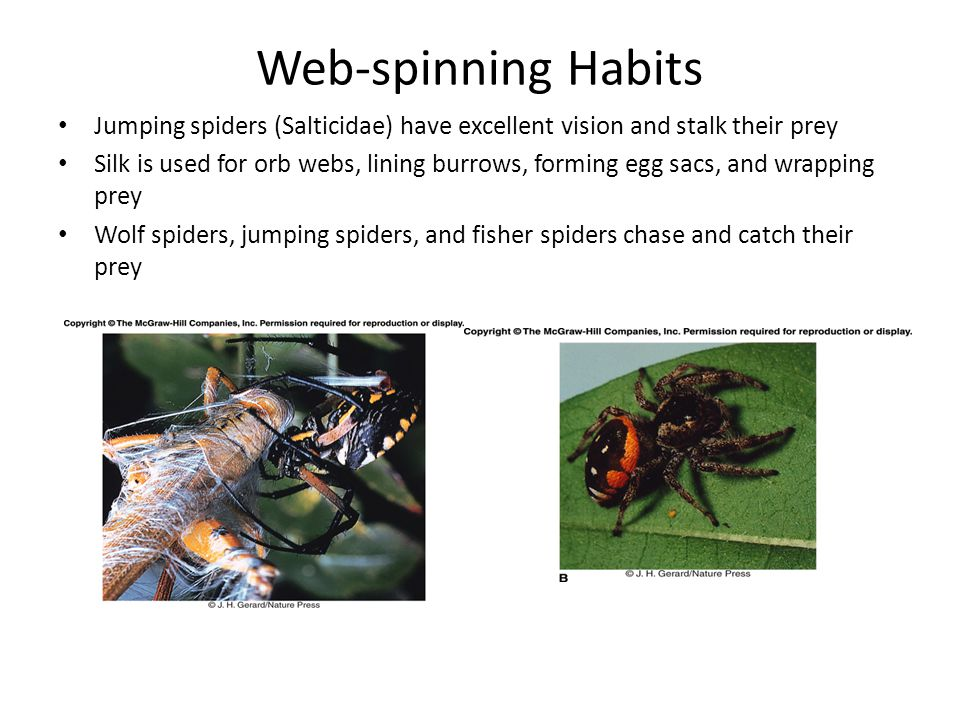 Web-spinning Habits Jumping spiders (Salticidae) have excellent vision and stalk their prey.