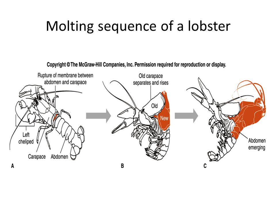 Molting sequence of a lobster
