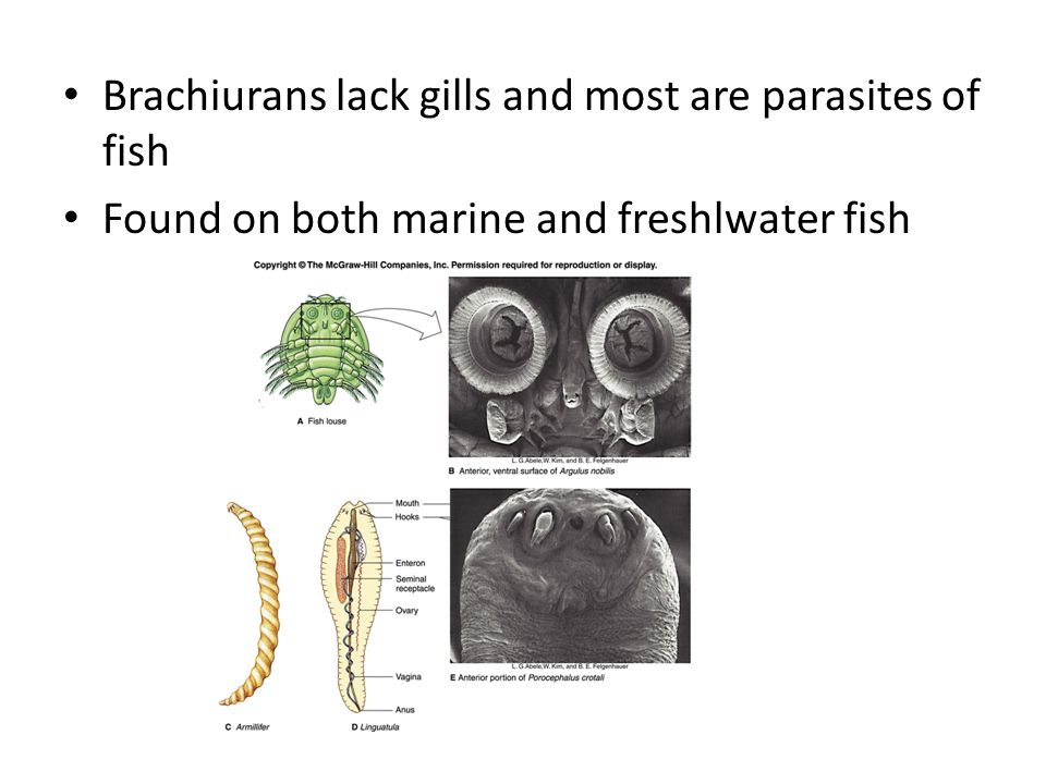 Brachiurans lack gills and most are parasites of fish
