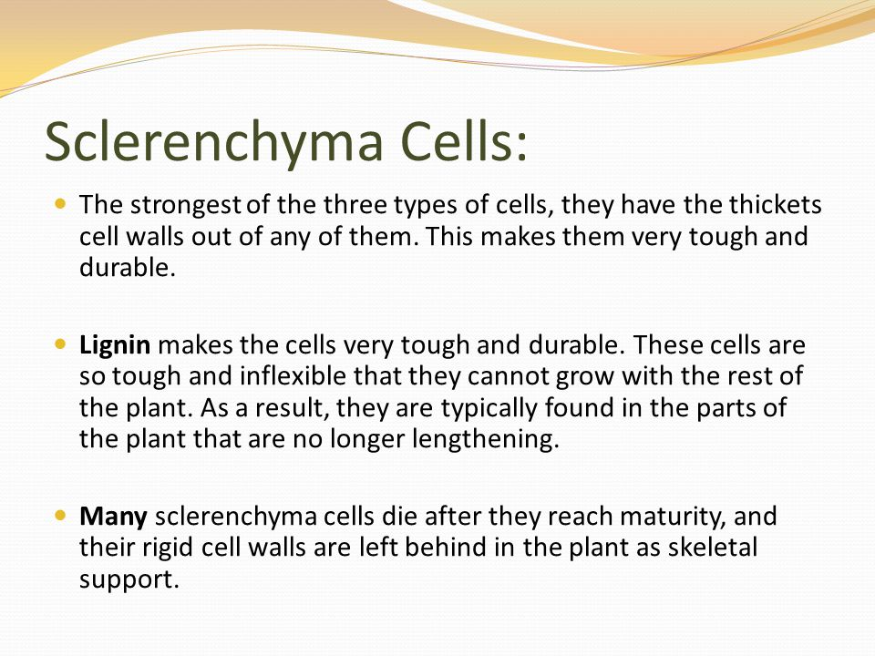Sclerenchyma Cells: