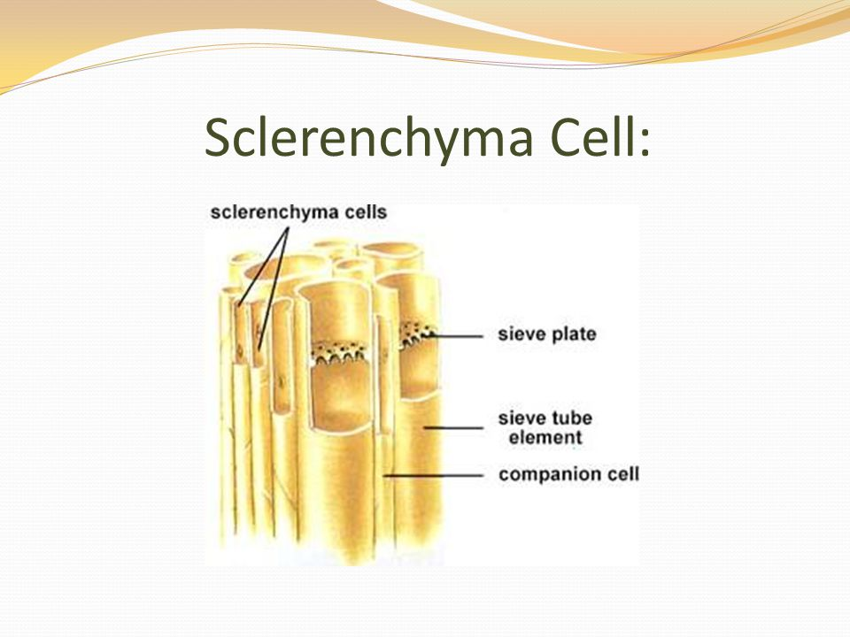 Sclerenchyma Cell: