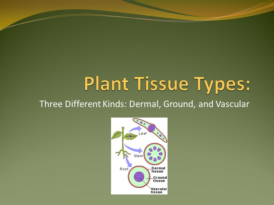 Three Different Kinds: Dermal, Ground, and Vascular