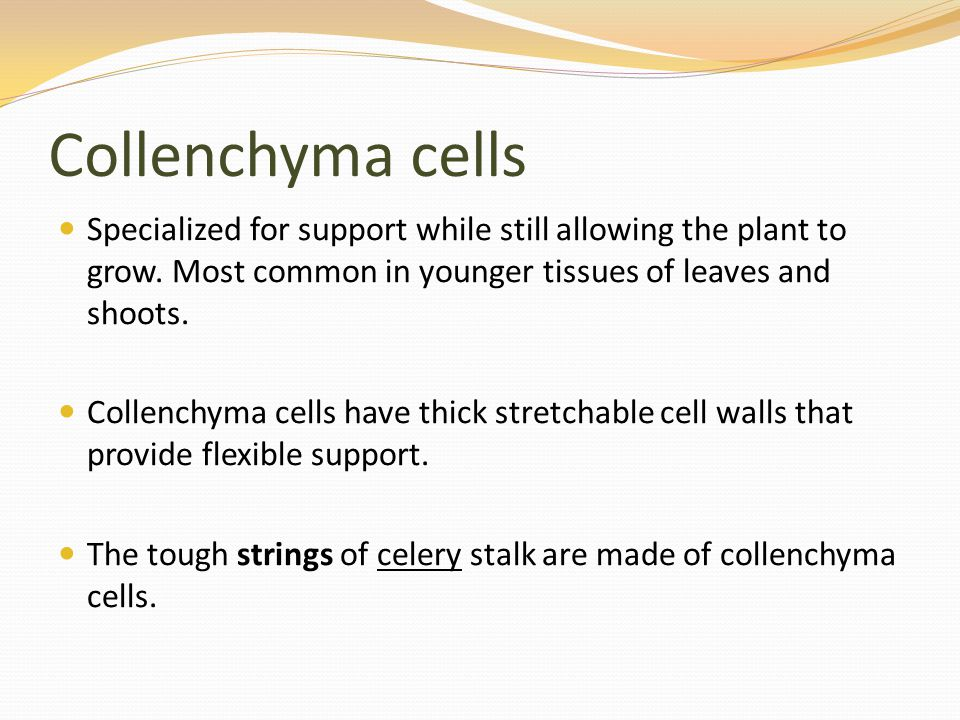 Collenchyma cells Specialized for support while still allowing the plant to grow. Most common in younger tissues of leaves and shoots.