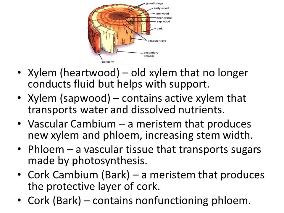 Xylem (heartwood) – old xylem that no longer conducts fluid but helps with support.