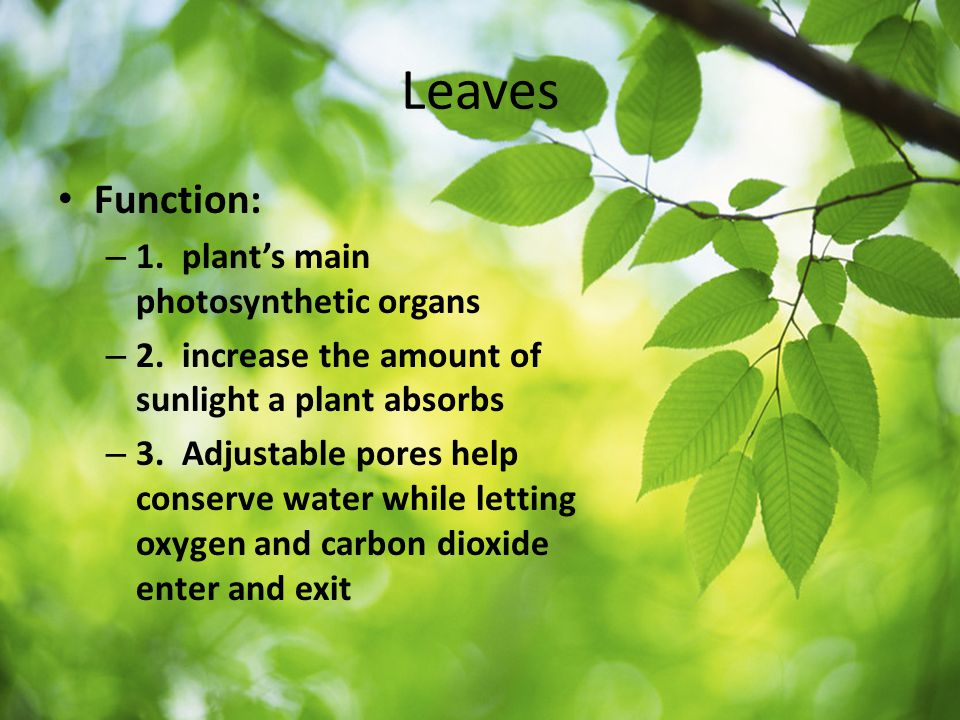 Leaves Function: 1. plant's main photosynthetic organs