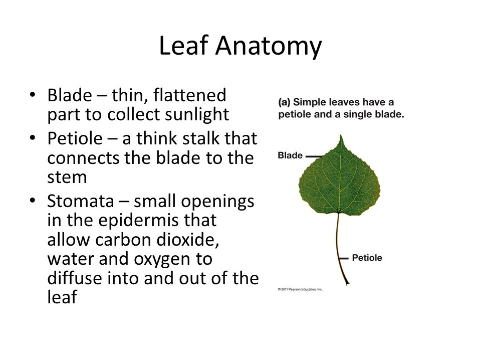 Leaf Anatomy Blade – thin, flattened part to collect sunlight
