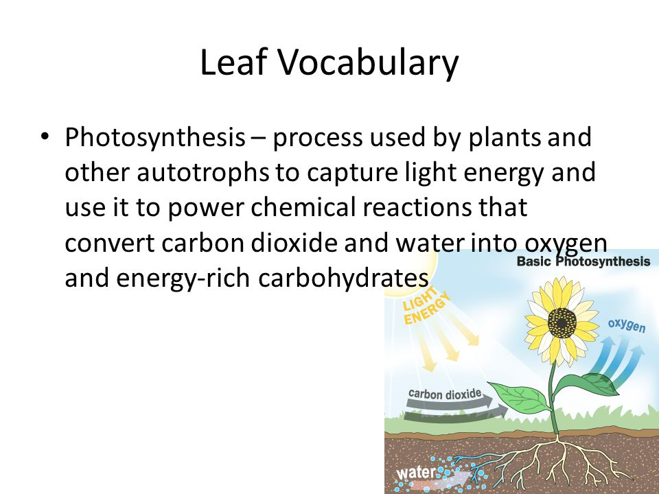 Leaf Vocabulary