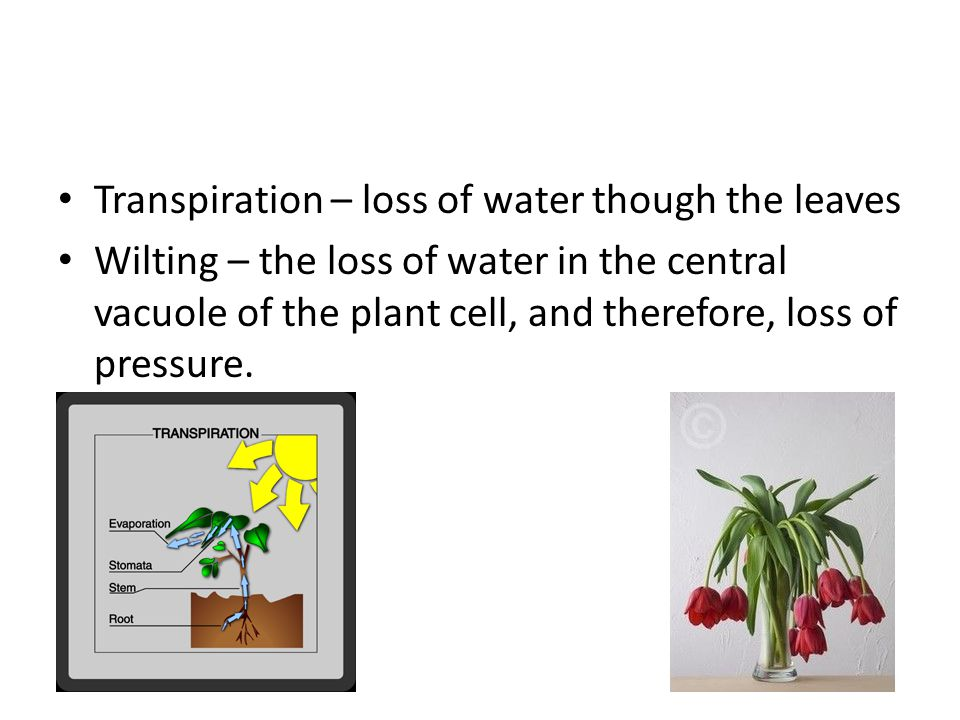 Transpiration – loss of water though the leaves