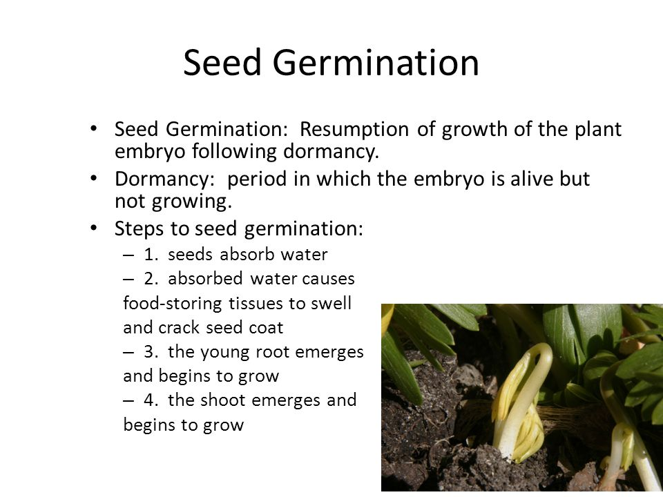 Seed Germination Seed Germination: Resumption of growth of the plant embryo following dormancy.