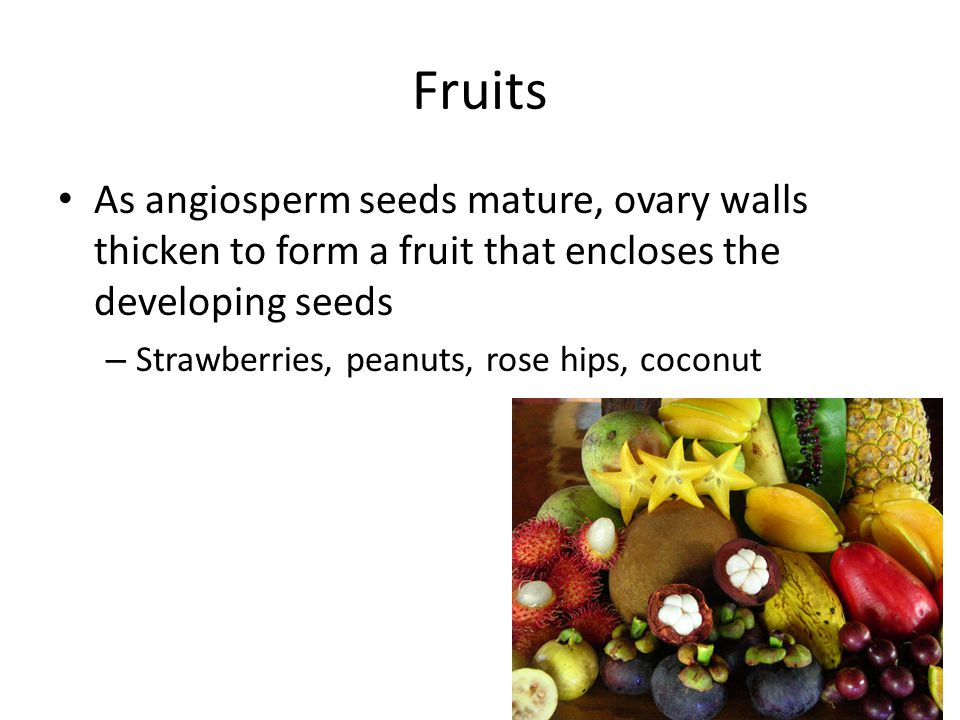 Fruits As angiosperm seeds mature, ovary walls thicken to form a fruit that encloses the developing seeds.