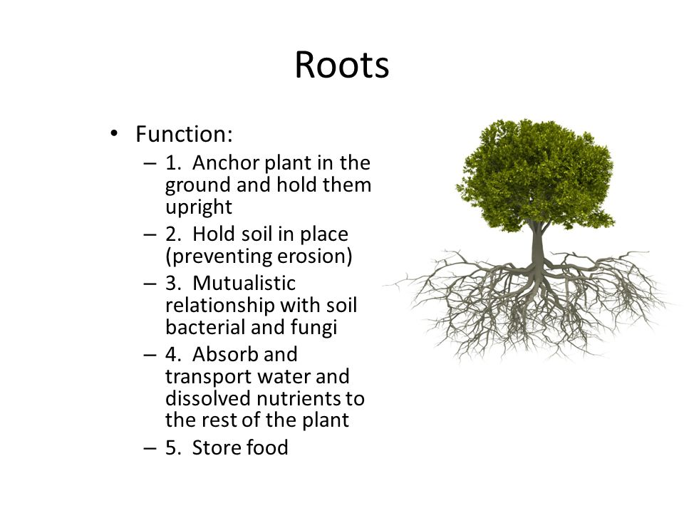 Roots Function: 1. Anchor plant in the ground and hold them upright