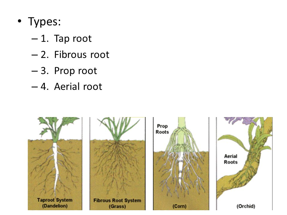 Types: 1. Tap root 2. Fibrous root 3. Prop root 4. Aerial root