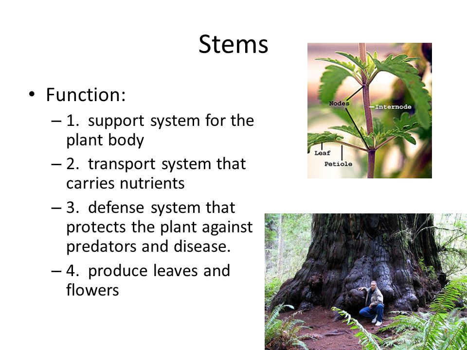 Stems Function: 1. support system for the plant body