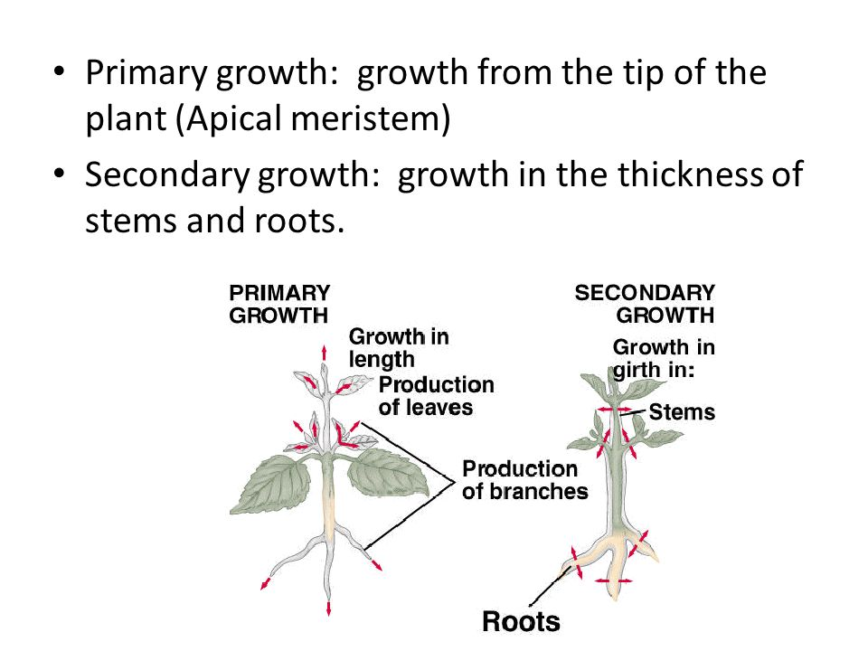 Primary growth: growth from the tip of the plant (Apical meristem)