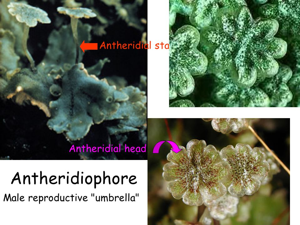 Antheridiophore Antheridial stalk Antheridial head