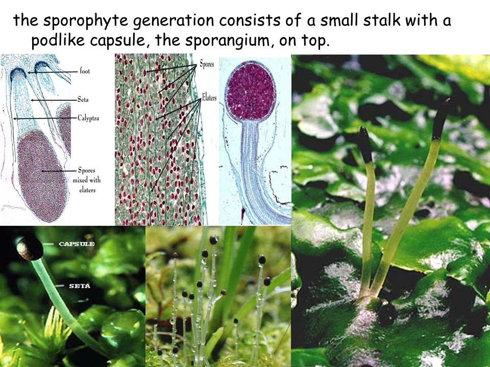 the sporophyte generation consists of a small stalk with a podlike capsule, the sporangium, on top.