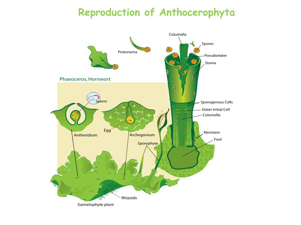 Reproduction of Anthocerophyta