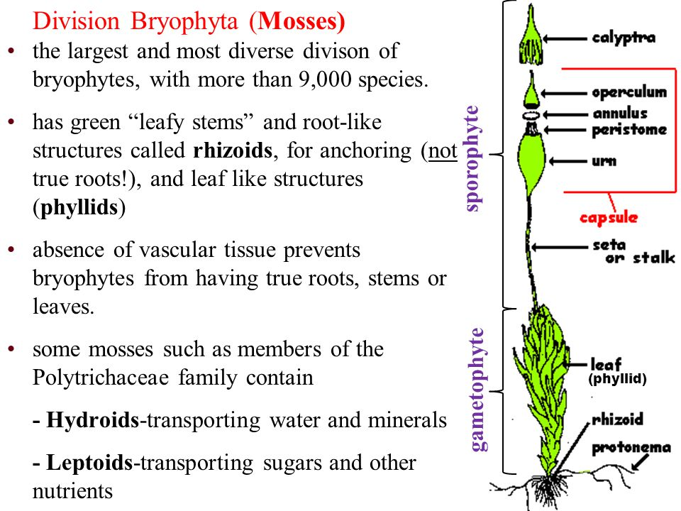 some mosses such as members of the Polytrichaceae family contain