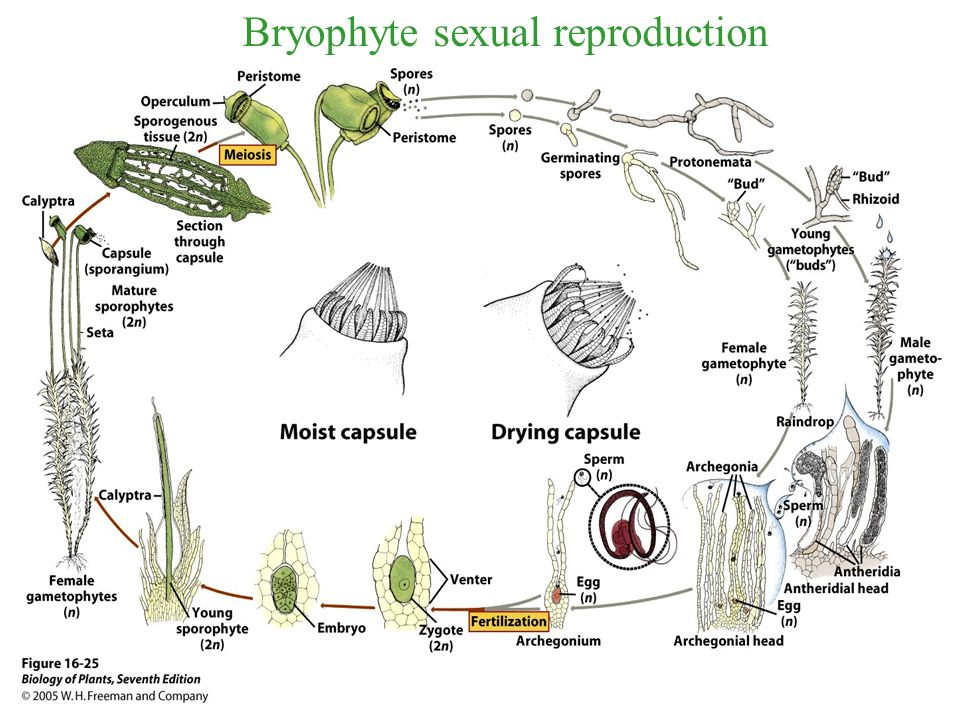 Bryophyte sexual reproduction