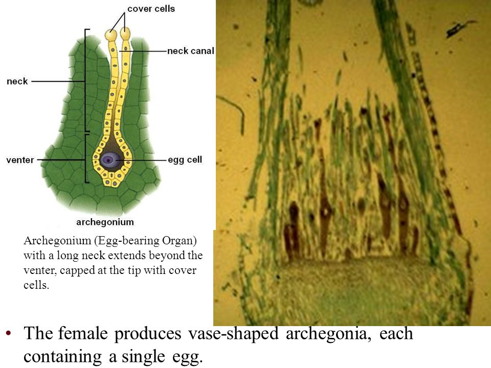 Archegonium (Egg-bearing Organ) with a long neck extends beyond the venter, capped at the tip with cover cells.