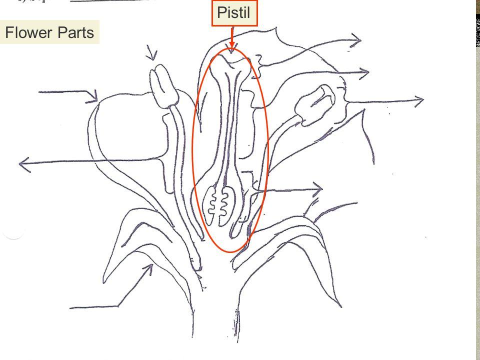Pistil Flower Parts