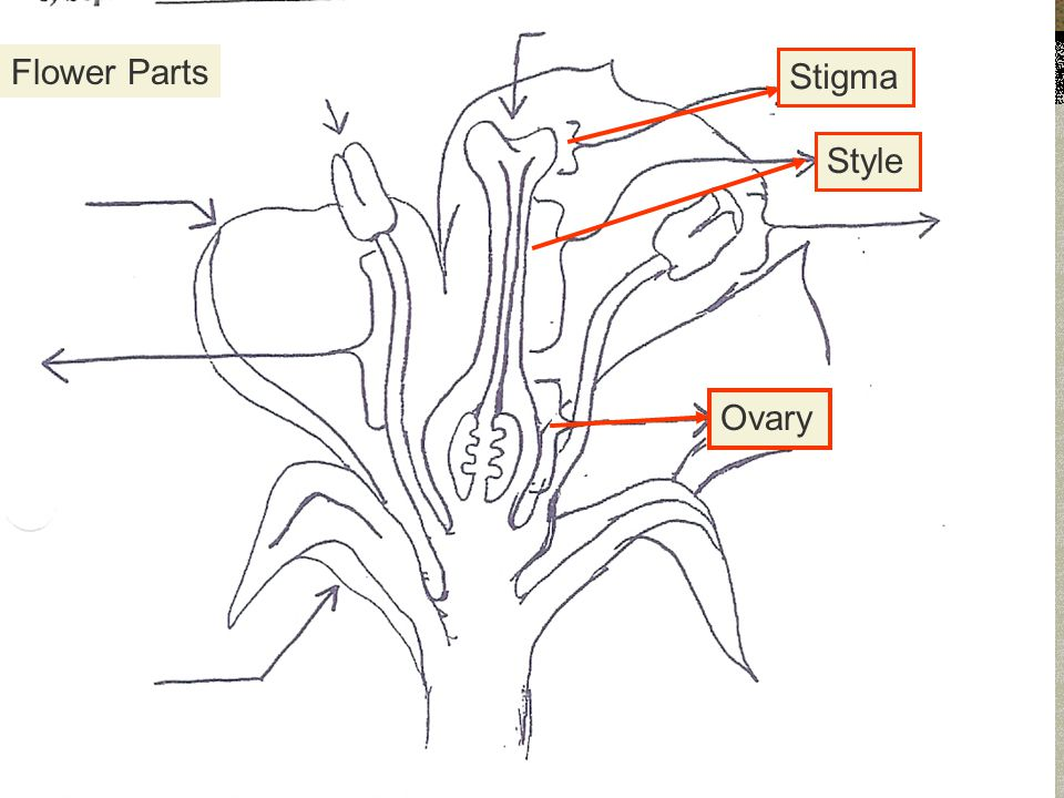 Flower Parts Stigma Style Ovary