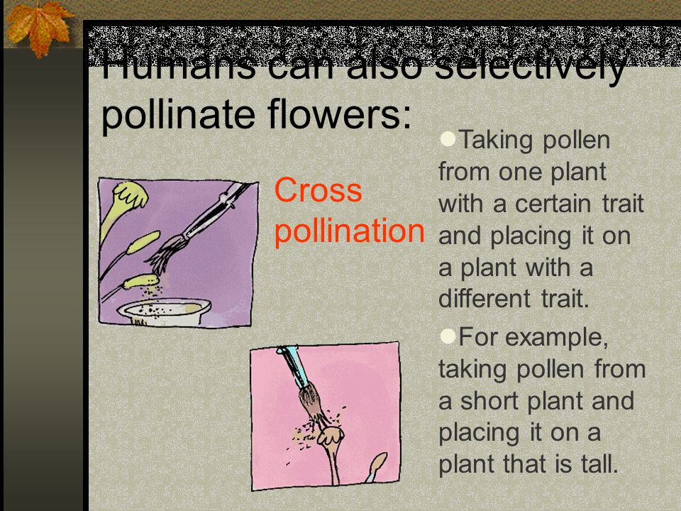 Humans can also selectively pollinate flowers: