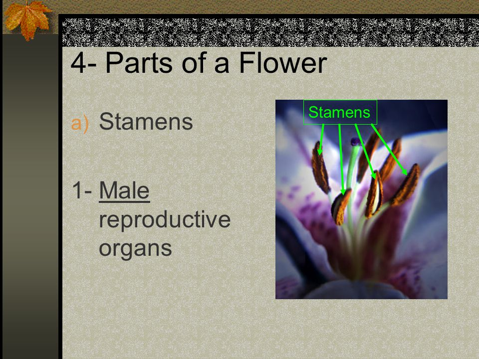 4- Parts of a Flower Stamens Stamens 1- Male reproductive organs