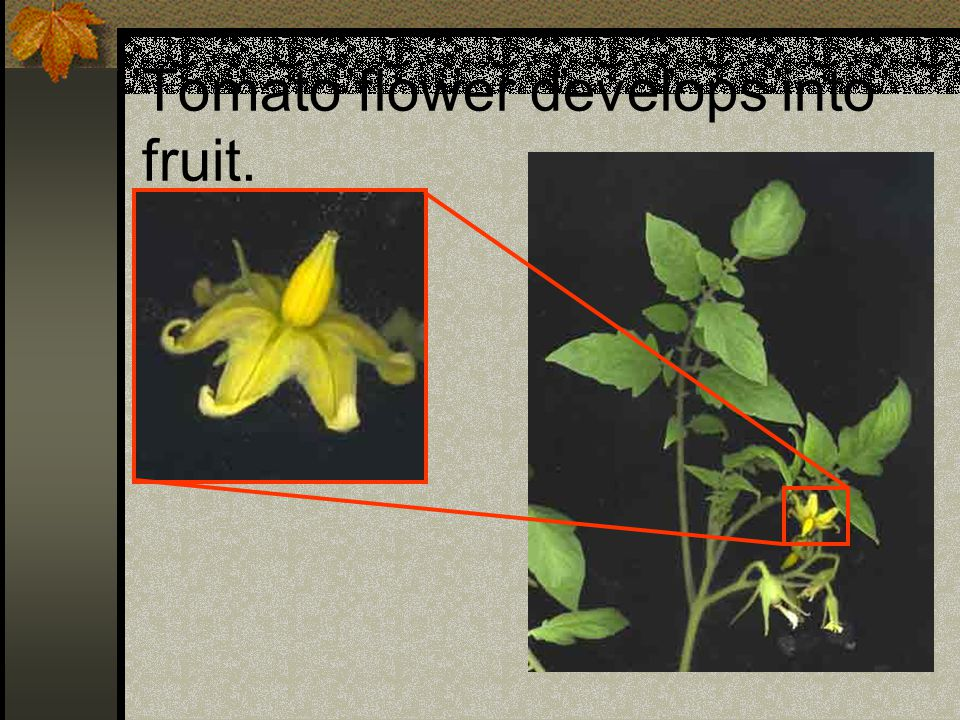Tomato flower develops into fruit.