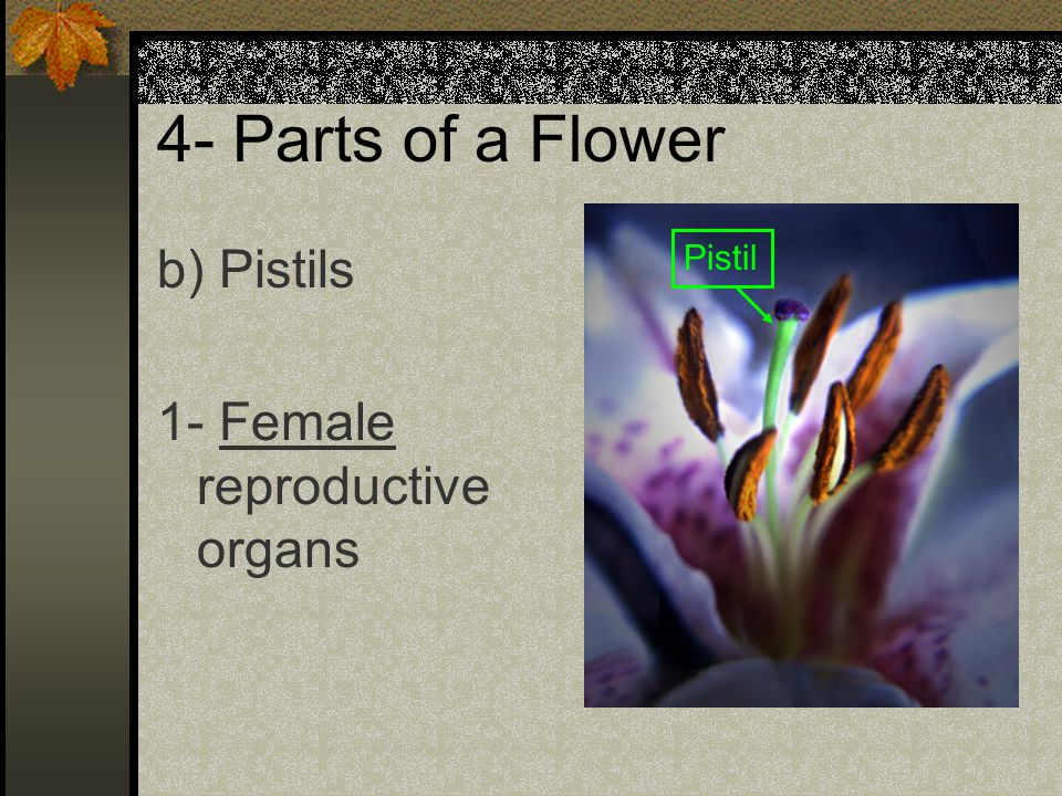 4- Parts of a Flower b) Pistils 1- Female reproductive organs Pistil