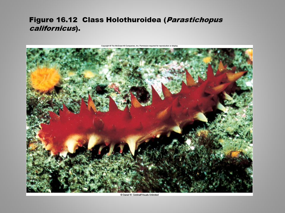Figure 16.12 Class Holothuroidea (Parastichopus californicus).