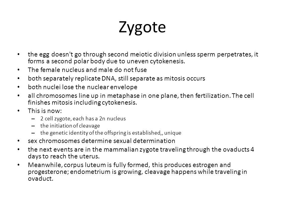 Zygote the egg doesn t go through second meiotic division unless sperm perpetrates, it forms a second polar body due to uneven cytokenesis.