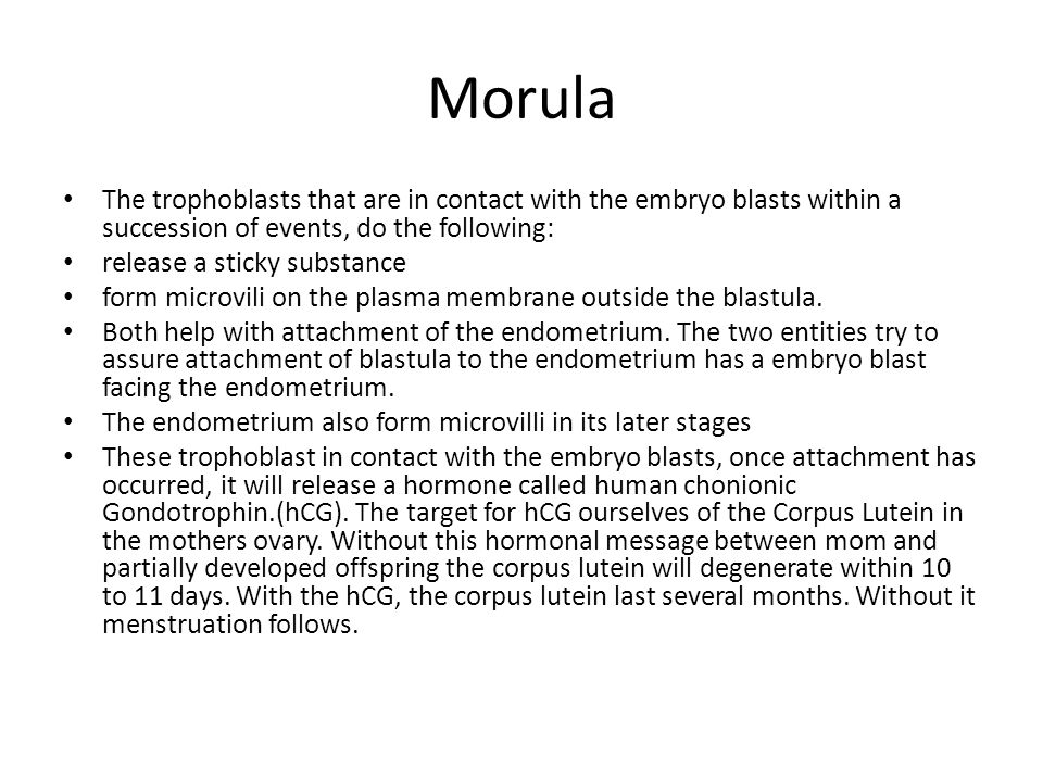 Morula The trophoblasts that are in contact with the embryo blasts within a succession of events, do the following: