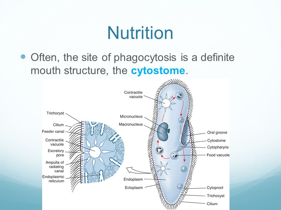 Nutrition Often, the site of phagocytosis is a definite mouth structure, the cytostome.