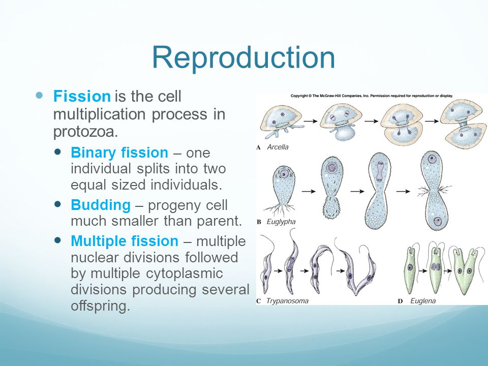 Reproduction Fission is the cell multiplication process in protozoa.