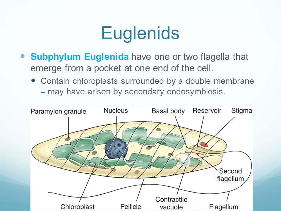 Euglenids Subphylum Euglenida have one or two flagella that emerge from a pocket at one end of the cell.