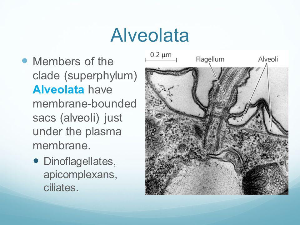 Alveolata Members of the clade (superphylum) Alveolata have membrane-bounded sacs (alveoli) just under the plasma membrane.