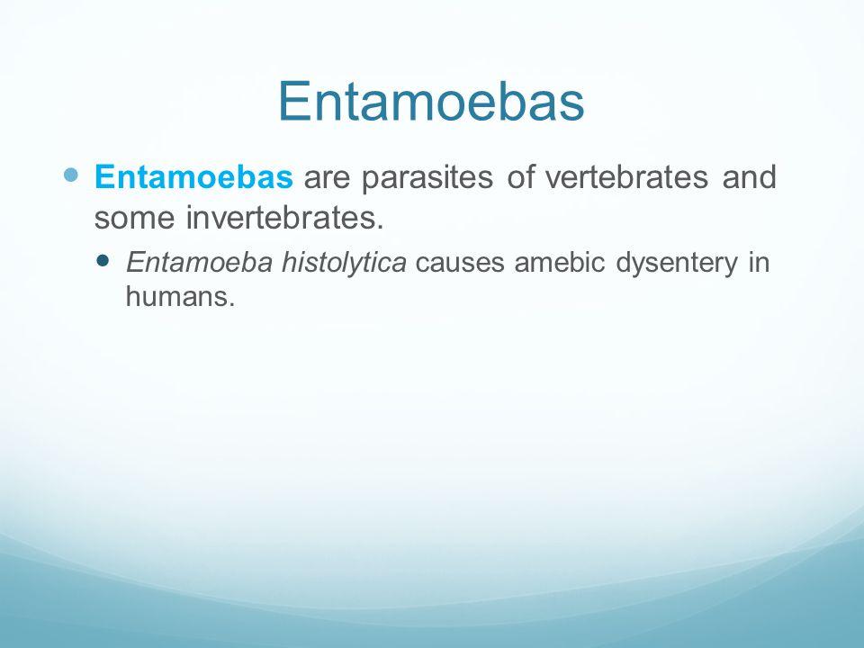 Entamoebas Entamoebas are parasites of vertebrates and some invertebrates.