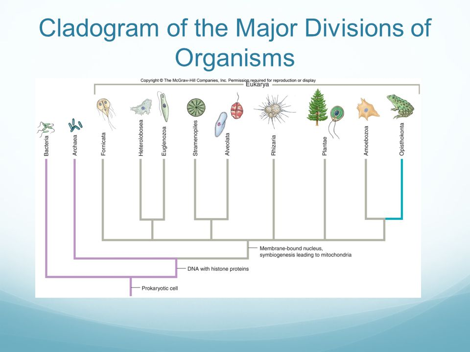 Cladogram of the Major Divisions of Organisms
