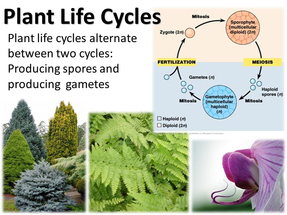 Plant Life Cycles Plant life cycles alternate between two cycles: Producing spores and producing gametes.