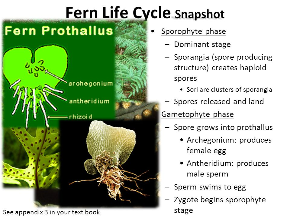 Fern Life Cycle Snapshot