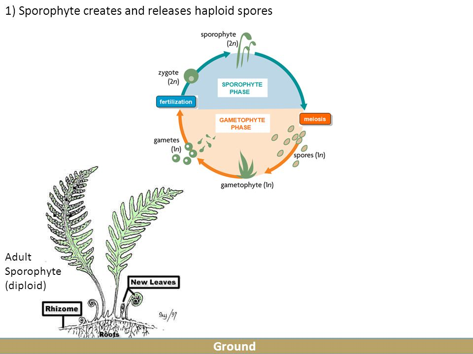 ) Sporophyte creates and releases haploid spores Ground Adult